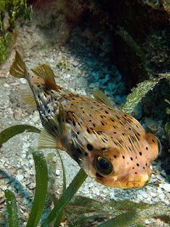 Porcupine Pufferfish (Diodon holocanthus) é uma espécie de baiacu de aquarismo de água salgada. Alimenta-se de moluscos, ouriços-do-mar, bernardos-eremita, caramujos, caranguejos e durante a sua fase ativa durante a noite.
