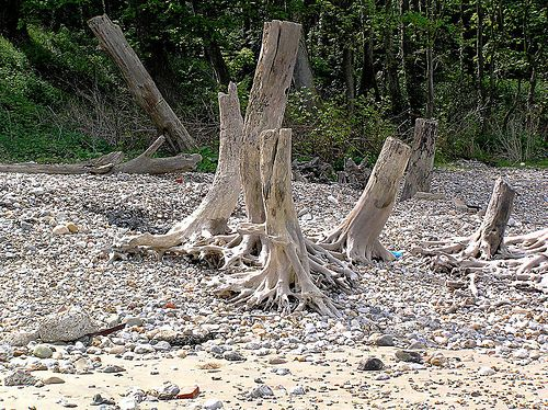 Bleached Tree Stumps on Bembridge Beach - Isle of Wight