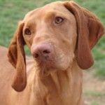 Vizsla is well-known for its various talents such as tracking, retrieving, pointing, watchdog and competitive obedience