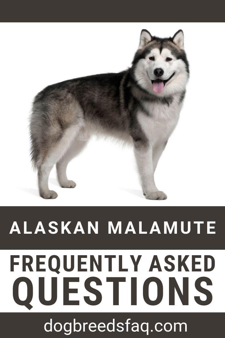 Alaskan Malamute Dog Breed Complete Information Alaskan Malamute