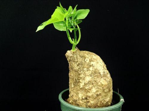 kj013-Adenia-viridiflora-Craib-Cactus-plants-Succulent-Bonsai-Caudex