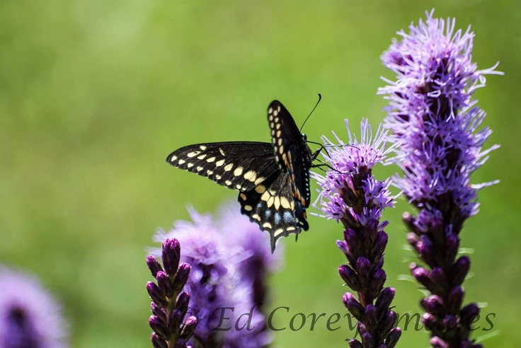 A blacktailed butterfly clinging to a purple flower.