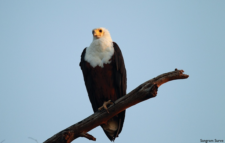 African Fish Eagle - From Lake BAringo