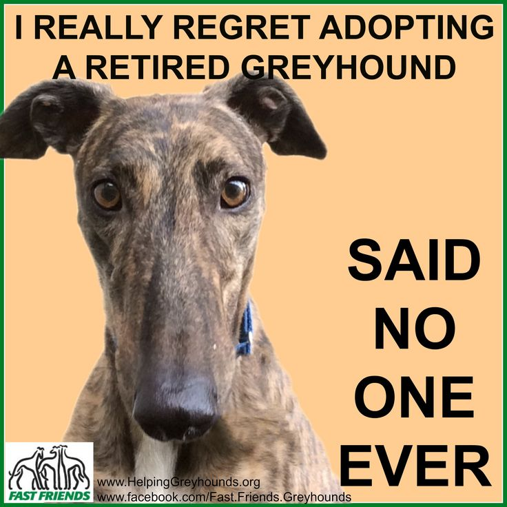 So true! The model in the picture is Kenny who is one of our adoptable greyhounds.