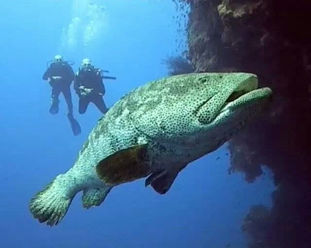Giant grouper fish under the sea pinterest fish for Goliath grouper fish