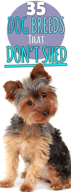 Love this! A full guide on 35 hypoallergenic dogs that don't shed, along with all a personality test to find your perfect puppy.