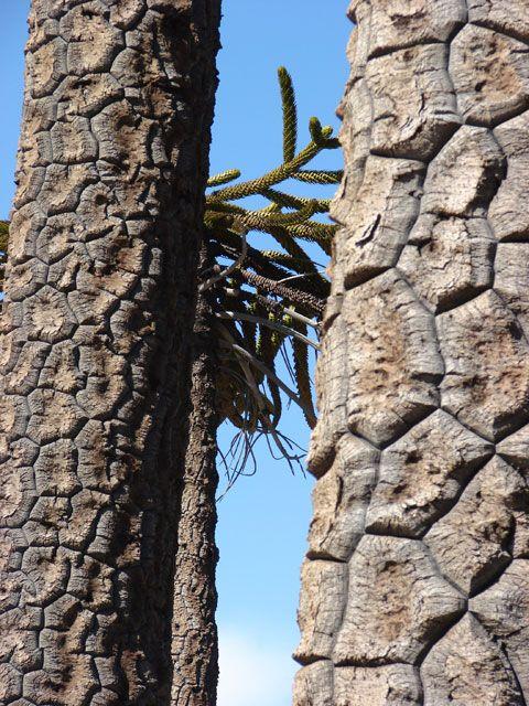 Araucaria araucana - plantas2 - Personal network