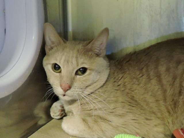 LINCOLN - A1107657 - - Manhattan  *** TO BE DESTROYED 04/08/17 *** ONE OF A LARGE GROUP OF CATS FROM SAME HOME – CAME in with MARMALADE, also listed tonight! -  Click for info & Current Status: http://nyccats.urgentpodr.org/lincoln-a1107657/