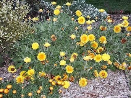 Image result for Xerochrysum bracteatum