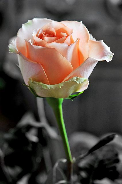 Another rose... by Tambako the Jaguar, via Flickr