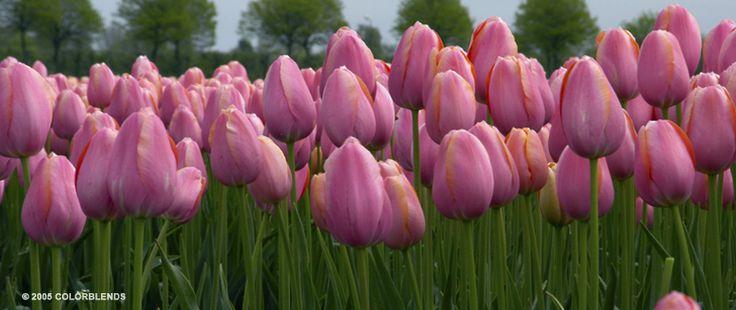 Tulip Menton | Bulbs as Cut Flowers Bulbs for Sale | COLORBLENDS