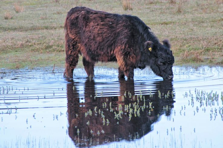 Een koe (ik weet niet welk soort). Genomen vorig jaar op Texel in mei. Ik was daar toen een dagje met mijn vader.  A cow ( I don't know which kind). Taken last year in may at Texel. I was there a day with my dad.  Taken with: Canon EOS 60D