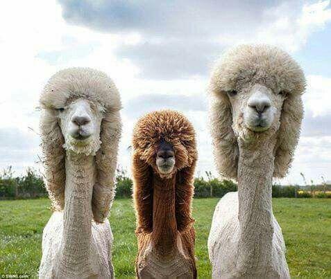 Best Camels Llamas Alpacas Images On Pinterest Almonds - 22 hilarious alpaca hairstyles