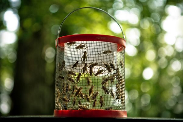 A guide to raising and breeding crickets for food
