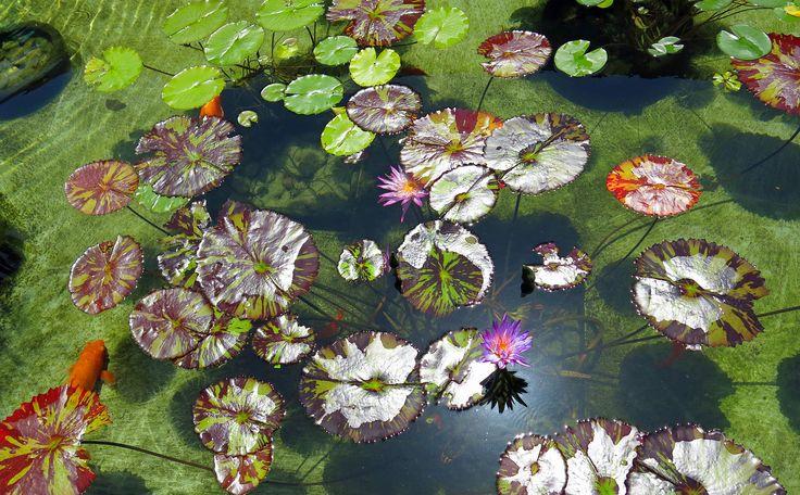 317 best images about koi pond on pinterest japanese koi for Koi pool villa