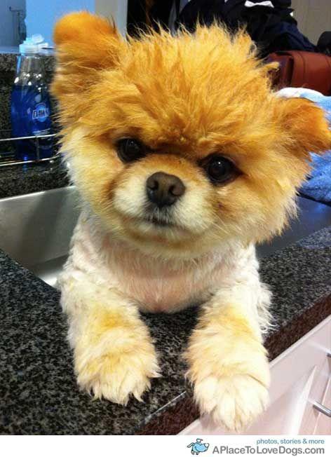 Simple Boo Army Adorable Dog - 0cf20c70ab8cf38274666dcde4ecc930--pomeranian-dogs-pomeranians  HD_74465  .jpg