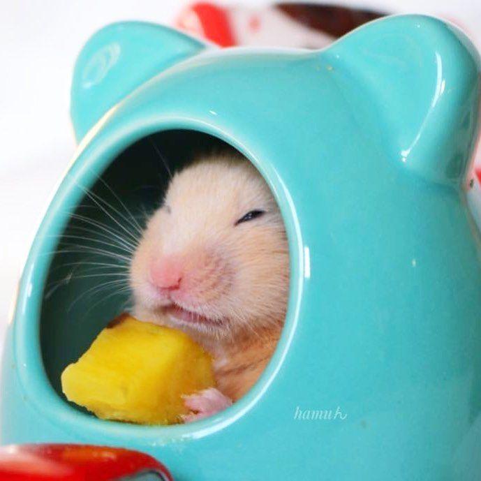いつもありがとうございます https://ameblo.jp/hamakiyo-2912/ #pet #hamster #followback #followme #cute #canon #ハムスター #ゴールデンハムスター #小動物#instagood #interiordesign #写真 #フォロー