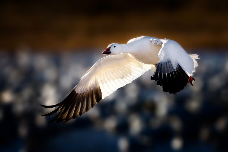 """Very localized, but abundant where they occur, Snow Geese typically are seen in large numbers or not at all. Included under this heading is the """"Blue Goose,"""" long considered a separate species, now known to be only a color morph of the smaller race of Snow (Lesser Snow Goose). The two color forms mate with each other, and may produce young of either or both colors. A larger race, Greater Snow Goose, nests in far eastern regions of Canada and winters on the Atlantic Coast. - Audobon Field…"""