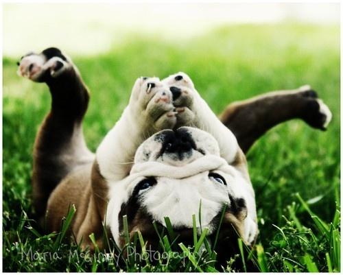 bulldogBulldogs Puppies, God, Happy Baby, English Bulldogs, Pets, Yoga Poses, Baby Bulldogs, Happy Puppies, Animal