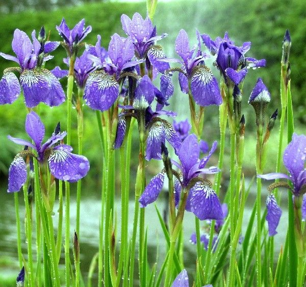 Iris sibirica Blue King