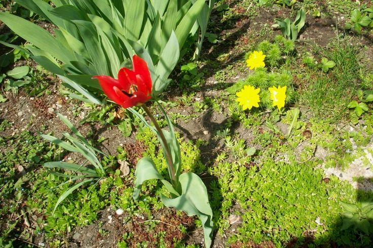 Iris / Tulip / Adonis vernalis