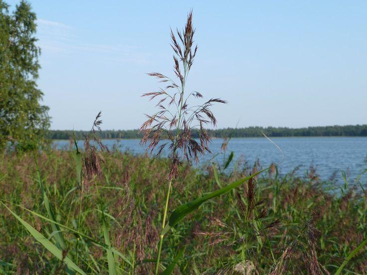 järviruoko, rantojen ja kosteikkojen kasvit
