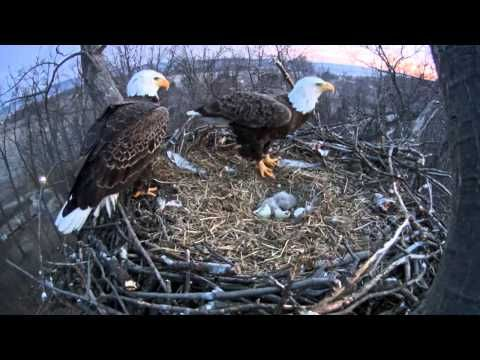 America Just Got a Heart-Tugging Injection of Freedom Thanks to Birth of These Two Baby Bald Eagles