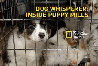 Breeding Cruelty (Dog Whisperer: Inside Puppy Mills) adopt don't shop