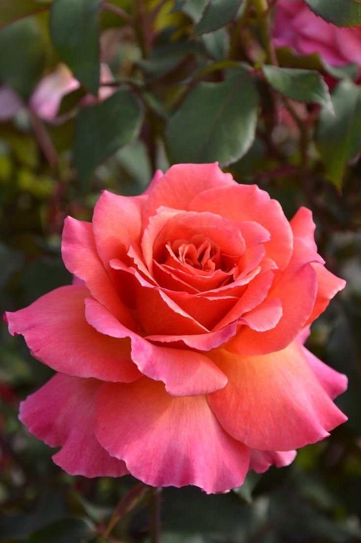 Rose ~ 'Albrecht Durer'