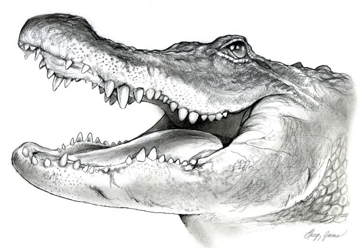 Louisiana Swamp Alligator Coloring Page