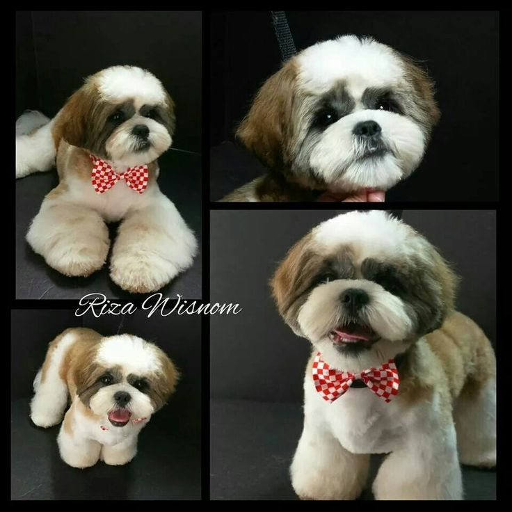 puppy cut shih tzu 74 best shih tzu grooming hairstyles images on pinterest 3096