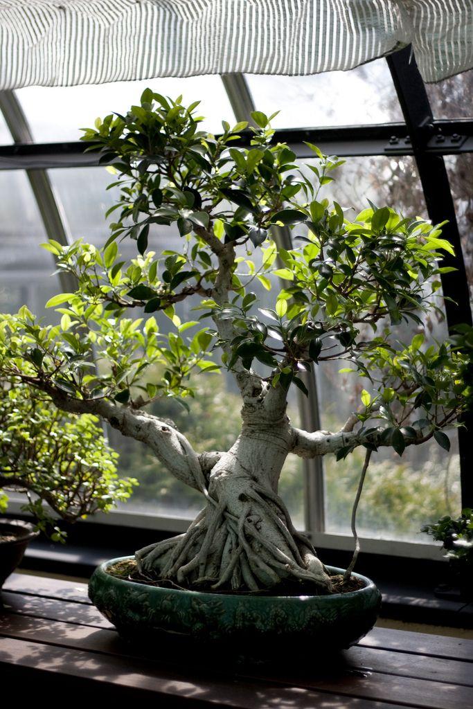 Árvore bonsai.  Fotografia: Jared Cherup no Flickr.