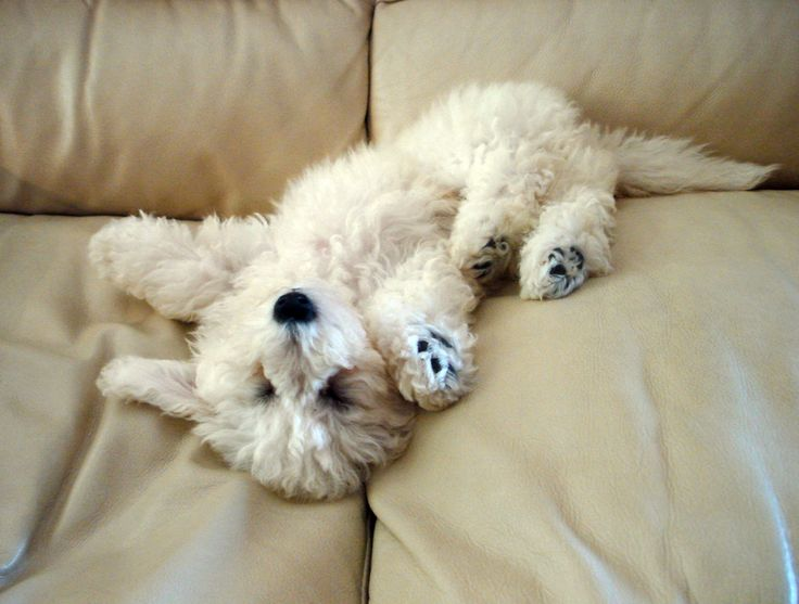 bichon frise puppy: looks just like my cuddle puppy at home. Love her!  She loves to lie on the couch just like that.   Our girl isn't that lady like.