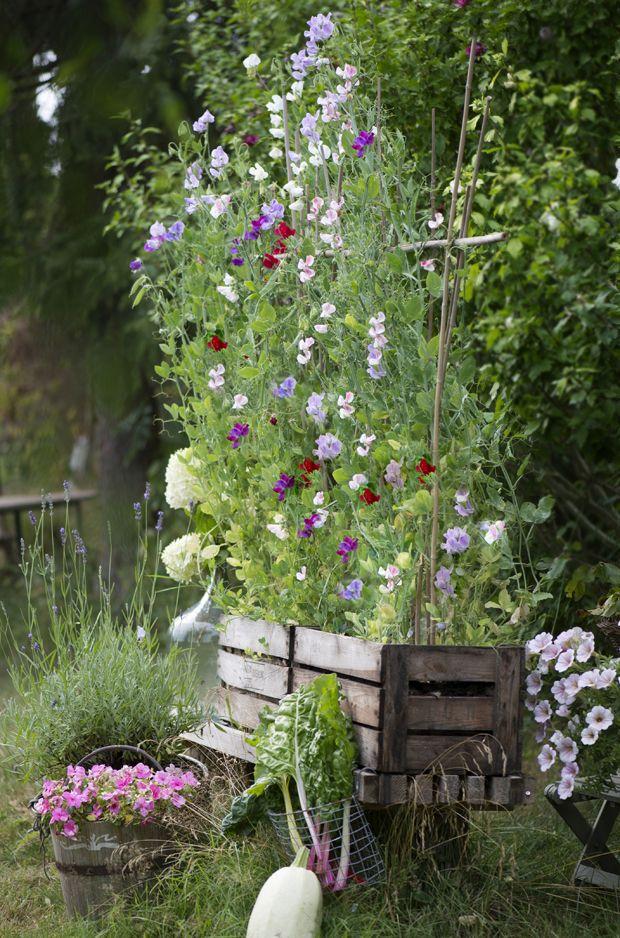 Ærteblomster eller lathyrus danner smukke og klatrende blomster. Lad dem klatre op ad dit eget hjemmelavede plantestativ.