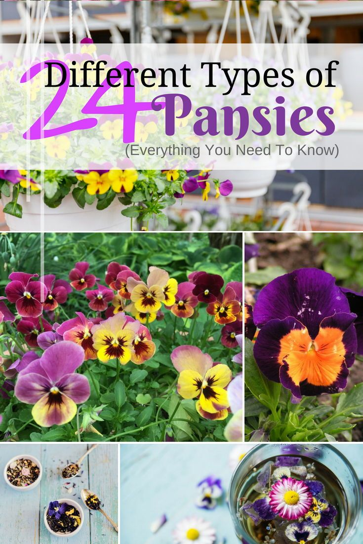 24 Different Types Of Pansies Everything You Need To Know Pansies Different Types Flowers
