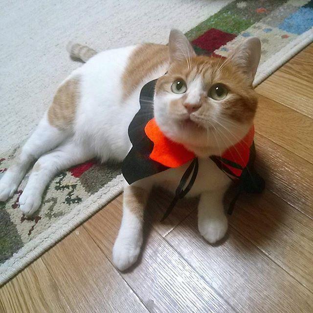 ハロウィン猫 #猫#ねこすたぐらむ#茶白#茶白部#まろん #猫部#ハロウィン#コスプレ#猫コスプレ#catstagram #かわいい#愛猫 マントは#セリア で購入