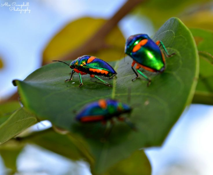 Colourful Stink bugs @ Berry Springs, NT
