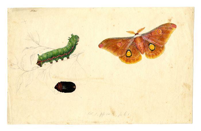 Helena Emperor Moth