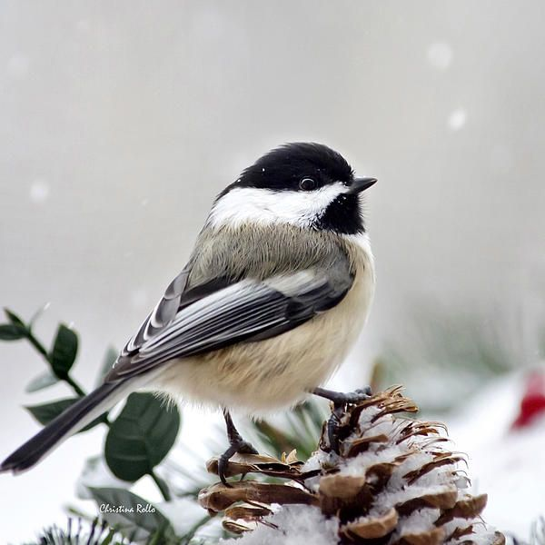Winter Chickadee Square by Christina Rollo © www.rollosphotos.com - Winter Chickadee Square Photograph - Winter Chickadee Square Fine Art Prints and Posters for Sale