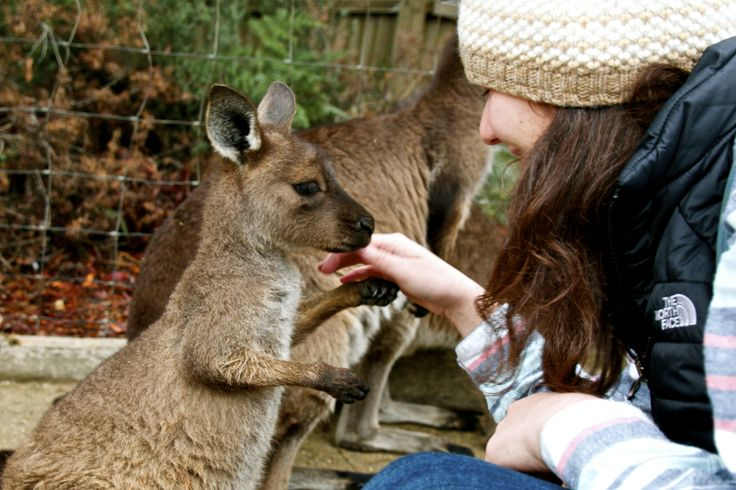 making friends with a baby #kangaroo at #ballaratwildlifepark in #ballarat #victoria #australia.  this little #joey was adorable!