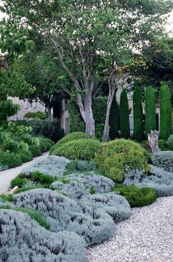 Beautiful French garden with planting of the herbaceous plant cotton lavender (Santolina chamaecyparissus). The grey green cotton lavender has been trimmed in this picture. It will produce yellow flowers in the summer. Does not do well in high humidity.