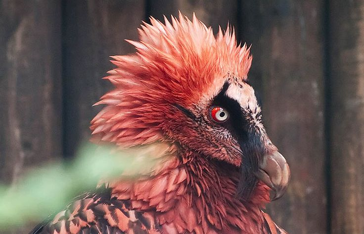 Ces 22 espèces disparaîtront probablement au cours de cette génération - Le Gypaète barbu