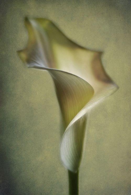 beautiful calla lily painting