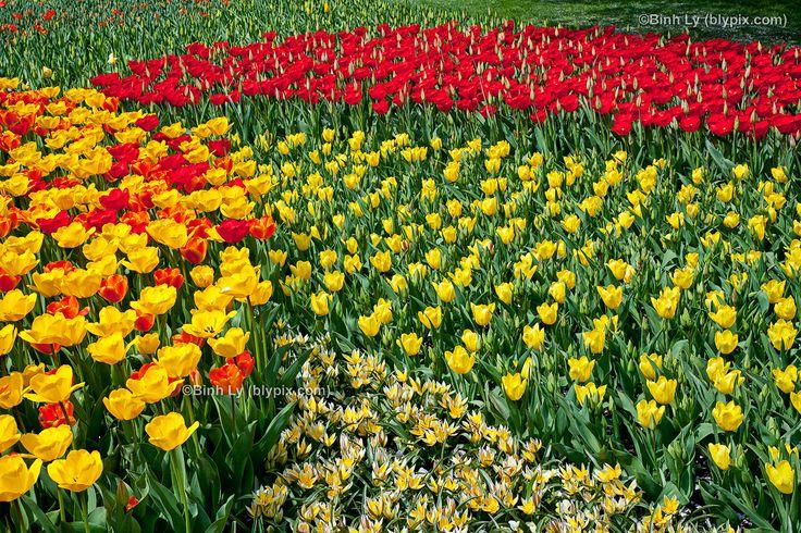 Longwood garden pic tulips longwood gardens wallpaper for Landscaping longwood