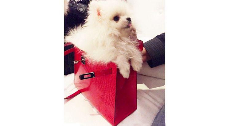 Après avoir perdu sa Tinkerbelle chérie, Paris a adopté un autre poménarien qu'elle a humblement nommé Princess Paris Jr. Celle-ci possède plus de 46 000 abonnés à ses clichés Instagram et vit la vie de rêve dans les sacs griffés de Mlle Hilton