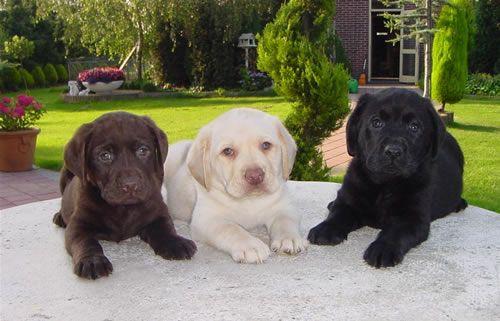 Love Labradors!!