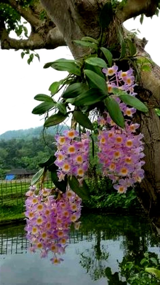how to grow orchids on trees