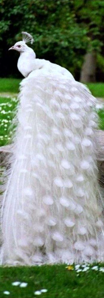 ~ White Peacock in the Garden ~