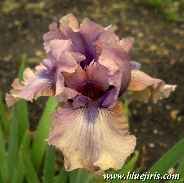 Dwarf Iris Forte