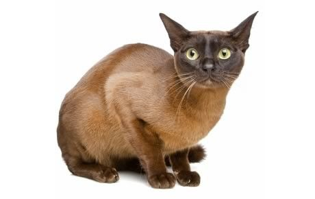 The European Burmese has the charm and determination of his Siamese ancestors, and his voice is soft and sweet, belying his tendency to run the household with an iron paw sheathed in velvety fur. See all European Burmese characteristics below!